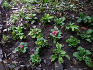 本館園庭に植えられたプリムラです