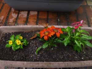 ガザニアとニチニチソウを寄せ植えしました